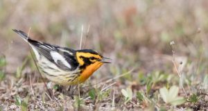 Clean Air Act saved 1.5 billion birds study shows