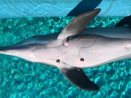 Dolphins conserve oxygen and prevent dive related problems by consciously decreasing their heart rates before diving