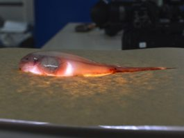 Fish carcasses deliver toxic mercury pollution to the deepest ocean trenches