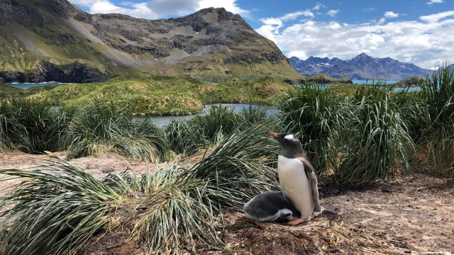 Gentoo penguins are four species not one say scientists