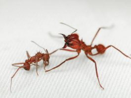 Leaf cutter ant first insect found with biomineral body armour