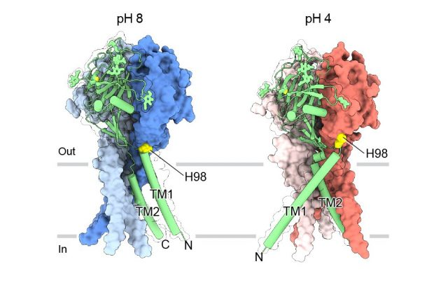 Near atomic maps reveal structure for maintaining pH balance in cells