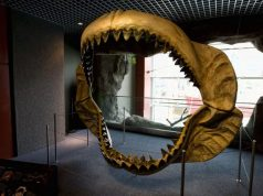Prehistoric mega shark raised its young in nurseries study