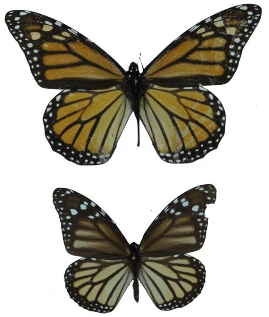 Two centuries of Monarch butterflies show evolution of wing length