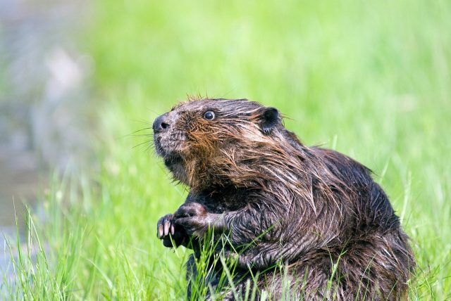 Beavers may help amphibians threatened by climate change