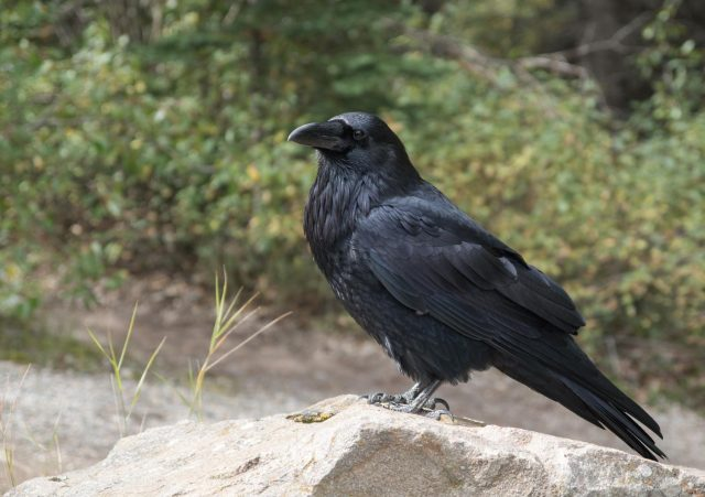 Cognitive performance of four months old ravens may parallel adult apes