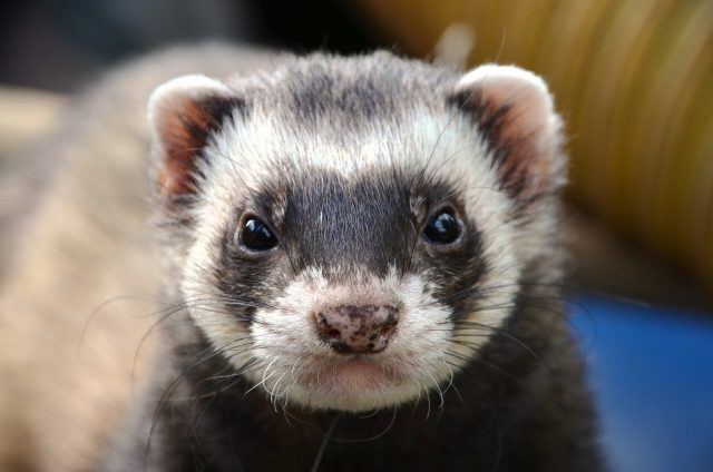 Ferrets cats and civets most susceptible to coronavirus infection after humans