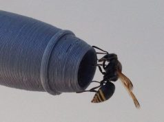 Keyhole wasps may threaten aviation safety