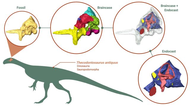 Research reveals unexpected insights into early dinosaurs brain eating habits and agility