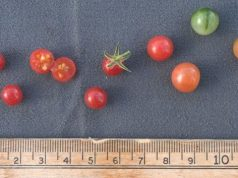 Tomatos wild ancestor is a genomic reservoir for plant breeders