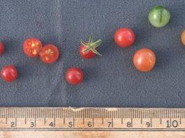 Tomatos wild ancestor is a genomic reservoir for plant breeders