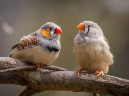 Zebra finches amazing at unmasking the bird behind the song