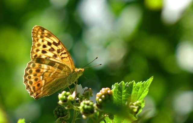 Butterflies create jet propulsion with a clap of their wings