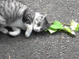 Catnip leaves kitties feline groovy wards off mosquitoes