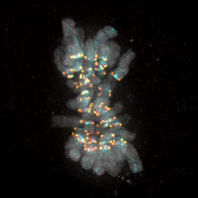 Cell biologists decipher signal that ensures no chromosome is left behind