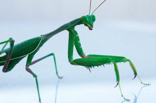 How the male mantis keeps its head during rough sex