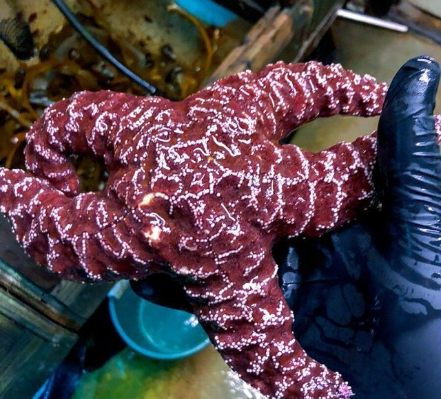 In changing oceans sea stars may be drowning