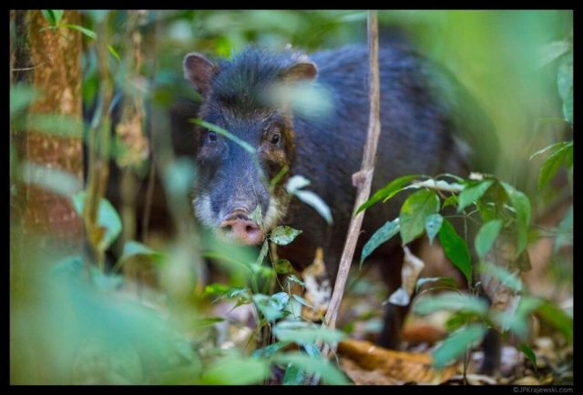 Large mammals make soil more fertile in tropical forests
