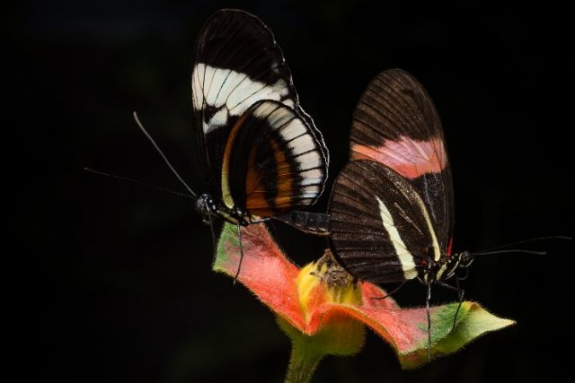 Male butterflies mark their mates with repulsive smell during sex to turn off other suitors