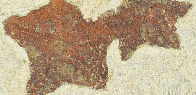 New starfish like fossil reveals evolution in action