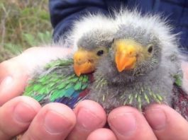 Parrots pushed to extinction despite protection policies