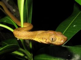 Scientists discover bizarre new mode of snake locomotion