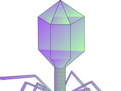 Scientists investigate phages that can kill the worlds leading superbug Acinetobacter baumannii