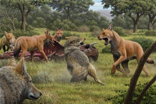 The dire wolf was a distinct species different from the gray wolf biologists discover