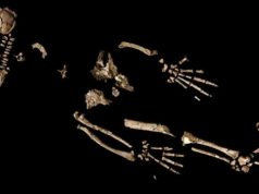 A 4.4 million year old skeleton could reveal how early humans began to walk upright