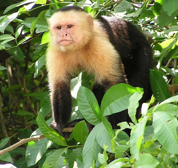 Capuchin monkey genome reveals clues to its long life and large brain