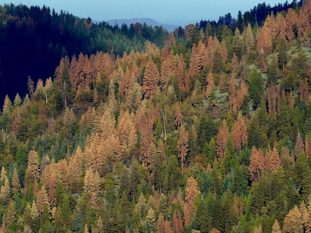 Climate impacts drive east west divide in forest seed production