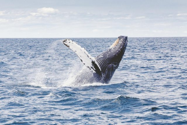 Humpback whales arent learning their songs from one another