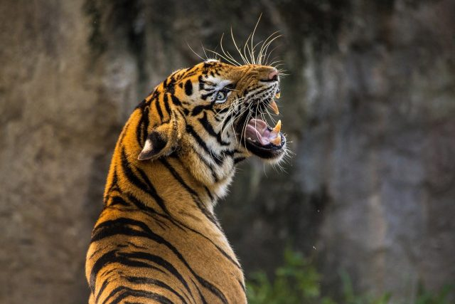 Indigenous tribe that worships tigers helps protect the species
