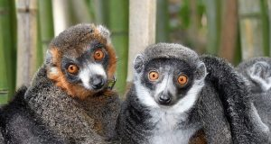 Lemurs show theres no single formula for lasting love