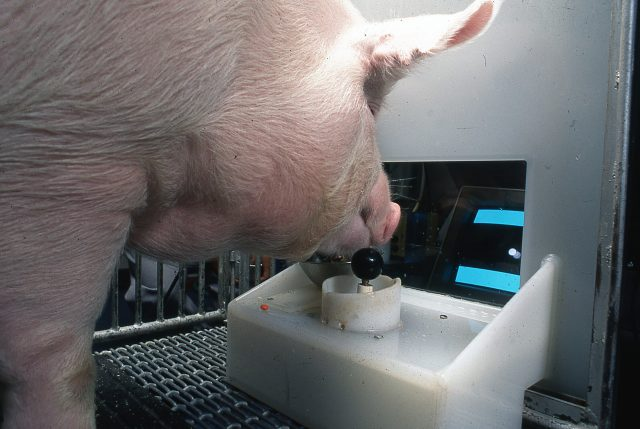 Pigs show potential for remarkable level of behavioral mental flexibility in new study