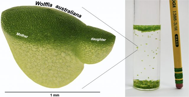 Research catches up to worlds fastest growing plant