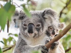 Retroviruses are re writing the koala genome and causing cancer