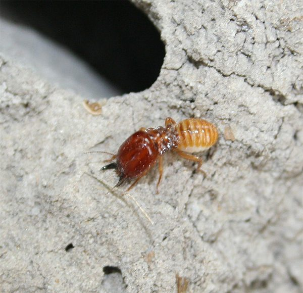 Termite gut microbes could aid biofuel production