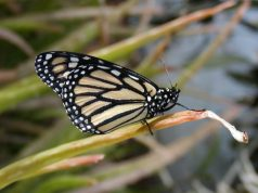 Dramatic decline in western butterfly populations linked to fall warming