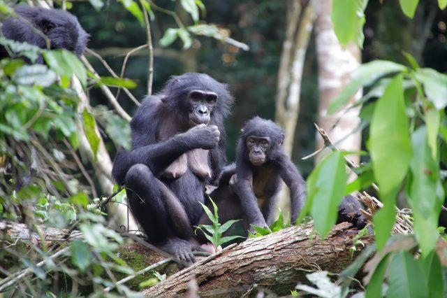 Female wild bonobos provide care for infants outside their social group
