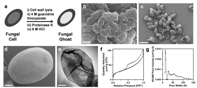 Fungal ghosts protect skin fabric from toxins radiation