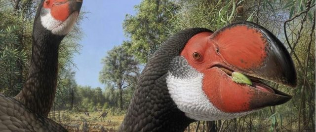 Giant fossil flightless bird had an enormous body but was still bird brained