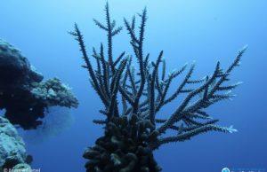 Half a trillion corals