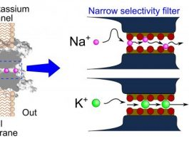 New study challenges established mechanism about selectivity of cellular ion channels