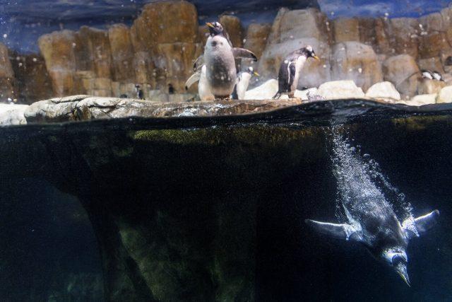 Penguin hemoglobin evolved to meet oxygen demands of diving