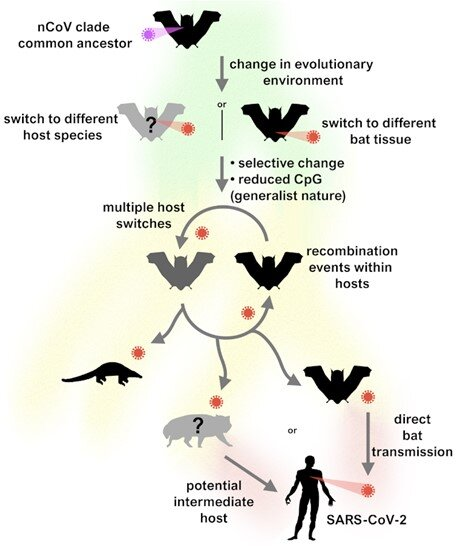 SARS CoV 2 jumped from bats to humans without much change