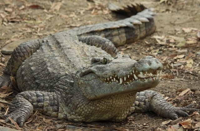 Snappy evolution was behind the success of ancient crocodiles 1