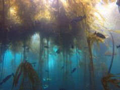 The collapse of Northern California kelp forests will be hard to reverse