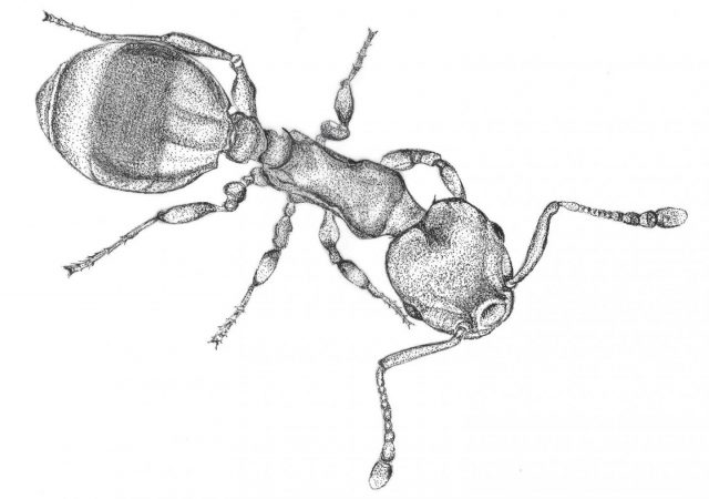 Ant responses to social isolation resemble those of humans 1