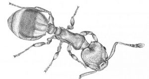 Ant responses to social isolation resemble those of humans